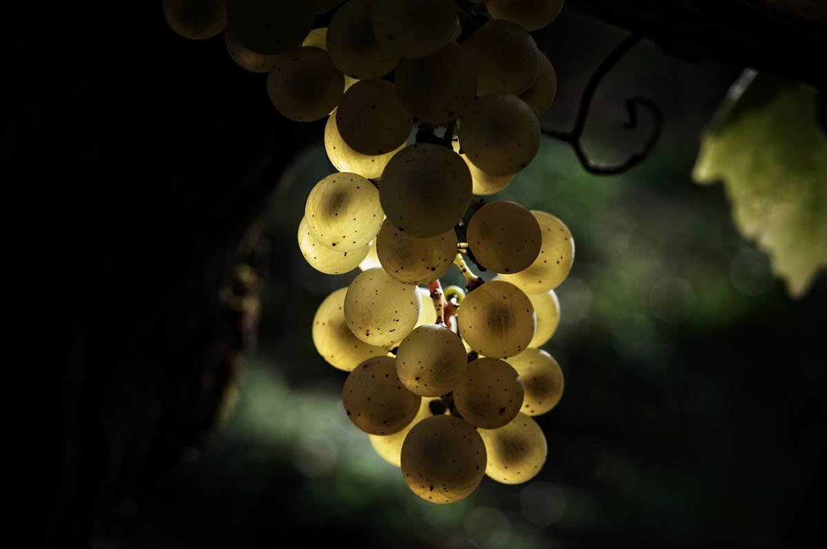 Domaine-vignoble-flavigny-alesia-tonneaux-grappe-1